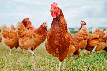 IHOP and Applebee's Will Serve Cage-Free Eggs